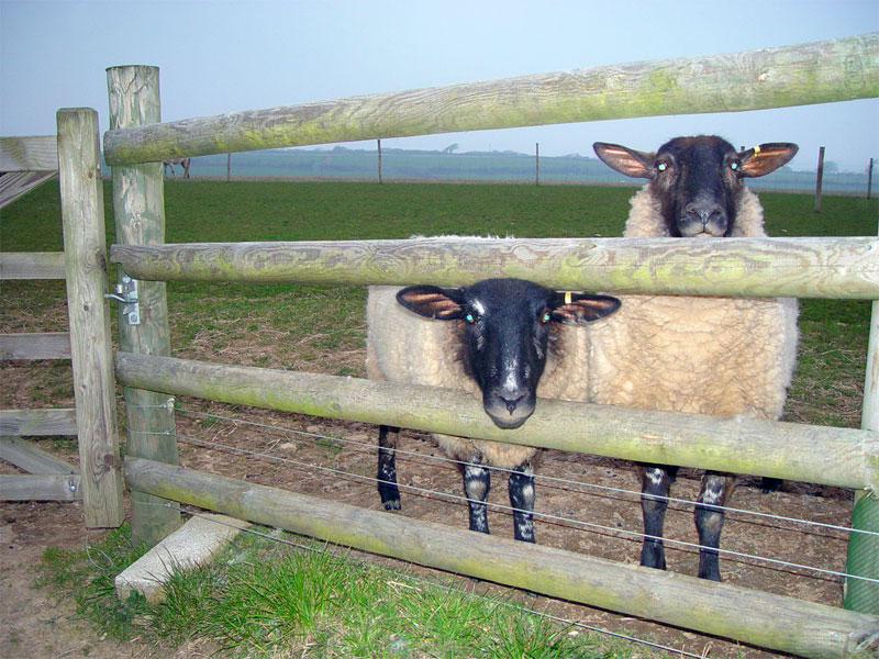 POST AND RAIL WITH SHEEP